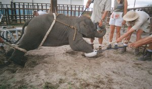 Addestramento elefantino per circo